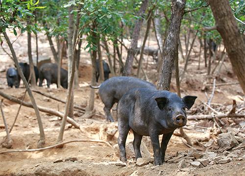 牙山黑山猪养殖基地